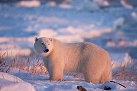 Polar Bear Ursus maritimus on the coast of Hudson Bay at the Seal River estuary near Churchill, Manitoba, Canada _ the Seal River is a Canadian Herita...