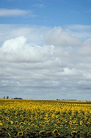 Southern Manitoba field of sunflowers. Prairie farmland.
