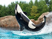 Killer Whale jumping out of the water. Marineland Niagara Falls Ontario Canada 2009