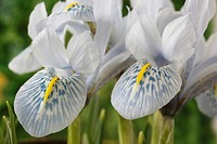 Iris 'Sheila Ann Germaney' Reticulata Close up of pale blue white and yellow falls on two iris