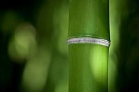Bambú detalle  Jardin Botánico Mar i Murtra  Blanes Costa Brava  Girona  Catalunya  España