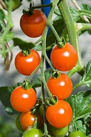 A cluster of Sweet Bite tomatoes ripening on the vine