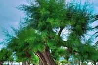 Tamarind tree  Alderdi eder  Donostia  Guipúzcoa  Spain