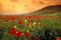 Spring flowers bloom in April in Northern Israel´s Galilee