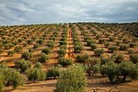 Olive grove. Sierra de Andújar Natural Park. Jaén province. Andalucía. Spain.