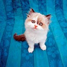 Kitten sitting on blue cloth.