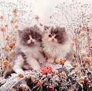 Blue Bicolor Persian kittens, 9 weeks old, among frosty rosebuds, love_in_the_mist and umbellifer deadheads.