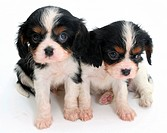Tricolor Cavalier King Charles Spaniel puppies.