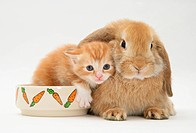 Ginger kitten with a young Sandy Lop rabbit, kitten in the rabbit´s food bowl.
