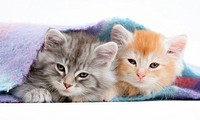 Maine Coon kittens under a blanket.