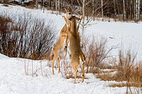 White_tailed deer on hind legs sparring.