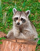 Raccoon Procyon lotor in Duval County, Florida.