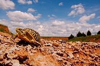 An adult female ornate box turtle Terrapene ornata in southern Barber County, Kansas, July 2007. This species became the official State Reptile of Kan...