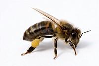 Honeybee Apis mellifera.
