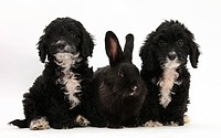 Two eight week old black tuxedo cockerpoo puppies with a black rabbit.