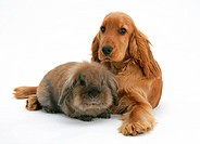 A red/golden English cocker spaniel with a lionhead_cross rabbit.