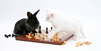 Black rabbit and white Maine coon kitten playing chess.