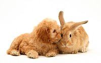 American Cockerpoo puppy, 8 weeks old, with sandy Lionhead_cross rabbit.