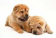 Shar_pei pups.