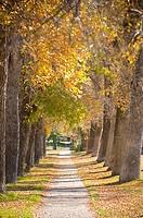 Cottonwood trees along a road, Bozeman, Gallatin County, Montana, USA