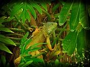 Common Iguana Iguana iguana. Southwestern Pacific coast of Mexico, State of Guerrero.