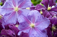 Canada, BC, Saltspring Island  Close up of clematis flowers