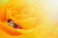 Boy as Lady Bug Sleeping on Yellow Rose
