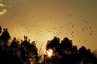 Flock of birds in sunset