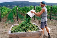 Grape harvesting, Lubiana vineyard, near New Norfolk in Southern Tasmania, Australia
