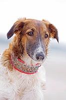 Barzoi dog _ standing _ portrait