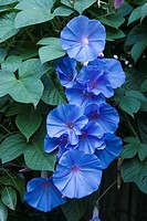 Morning Glory vine in flower