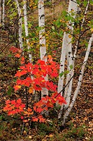 White birch tree trunks and maple trees in understory