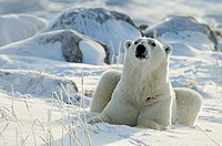 Polar bear Ursus maritimus Resting on snow
