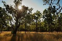 Eucalyptus in the rye, Tenterfield, New South Wales, Australia