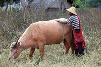 Myanmar, Burma, Nyaungshwe, farmer with buffalo,
