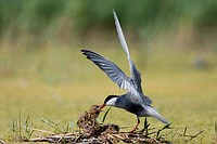 Whiskered tern, Chlidonias hybrida, feeding chicks at nest