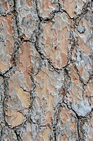 Scots pine bark Pinus sylvestris close_up, Belgium