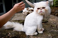 This cat doesn't look pleased to be pet