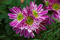 fuchsia daisy