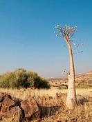 Bottle Tree Pachypodium lealii - Succulent tree with a milky latex, endemic to the pre-Namib of northern Namibia  In the background a Damara Euphorbia...