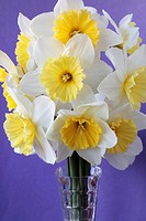 Narcissus 'Ice Follies' Daffodil Div 2 Large-cupped Arranged in vase