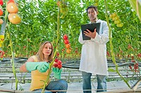 female worker and male quality controller in greenhouse of organic tomatoes
