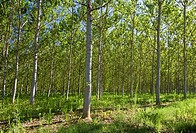 Managed forest of Silver Birch trees Tarn et Garonne Southwest France Europe