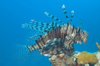 Egypt, Red Sea, Common lionfish Pterois volitans