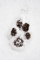 Pawprint in the snow on a sidewalk in Cambridge, MA
