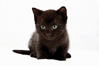 Domestic cat, black kitten, portrait