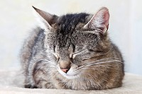 Domestic cat sleeping, portrait, close_up