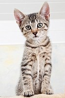 Domestic cat, kitten, portrait