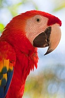 Scarlet macaw, Roatan, Bay Islands, Honduras, Central America