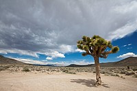USA, California, Death Valley National Park, Joshua Tree Yucca brevifolia in landscape